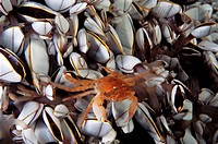 Eastern Atlantic Galicia Spain Oceanic crab in the middle of Gooseneck barnacle Pinoferes pinofrese