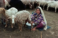Turkoman girl milking sheep, Iran, Middle East