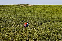 A hiker struggles with the dense vegetation, Saltee Islands, Inseln, Wexford, Ireland