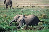 Elephant (Loxodonta africana), Amboseli NP, Kenya, Africa