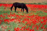 Black horse in a poppy field, Chianti, Tuscany, Italy, Europe