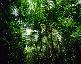 Rain forest, St. Lucia, Windward Islands, West Indies, Caribbean, Central America