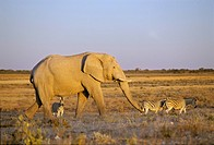 Elephant  Loxodonta africana  in the evening light, Etosha National Park, Namibia