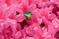 A rose beetle on red rhododendron blossoms.