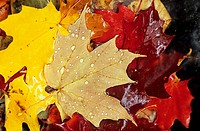Rain drops on autumnal maple leaves during Indian Summer in Algonquin Nationalpark, Ontario, Canada.