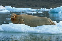 Bearded seal on ice, Svalbard, Arctic, Norway, Scandinavia, Europe