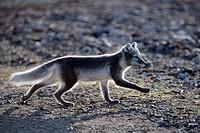 Arctic Fox (Vulpes lagopus). Spitsbergen island, Svalbard archipelago, Arctic Ocean, Norway