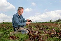 farm worker harvesting beetroots by hand