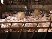 Farmer In Middle Of Pigs