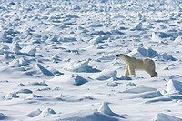 Polar bear Ursus maritimus on pack ice, Spitsbergen, Svalbard, Norway, Scandinavia, Europe