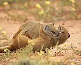 Two yellow mongoose Cynictis penicillata fighting, Kgalagadi Transfrontier Park, encompassing the former Kalahari Gemsbok National Park, Northern Cape...