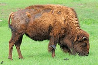 American Bison/Buffalo (Bison bison), Female/Cow and Brown-Headed Cowbirds (Molothrus ater). Custer State Park, South Dakota, USA