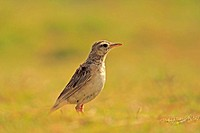 Paddyfield Pipit. Bangalore, Karnataka, India