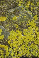 Lichen on rocks, Devon, England, United Kingdom, Europe