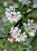 Close_up of apple blossom in May, England, United Kingdom, Europe