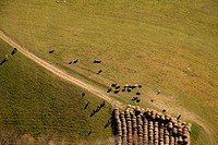 Aerial view of bales and flock of sheep in field