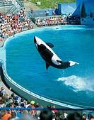 Performing killer whale, Marine World Africa USA, California, United States of America, North America