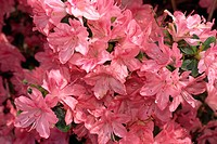 Close_up of azalea flowers, Blaaws Pink, taken in May in Devon, England