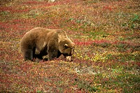 Alaskan brown bear grizzly, grazing on tundra berries, Denali National Park, Alaska, United States of America, North America