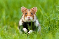 Common hamster (Cricetus cricetus), standing in grass, urban biotope in the city of Vienna, Austria