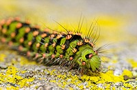 Caterpillar with hairs and warning colour, crawling on granite rock with lichens, Vosges mountains, Alsace, France