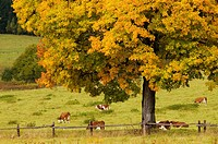 Maple tree and cattle pasture, herd of cows in meadow, colours of autumn, Czech Republic