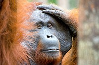 Male orangutan in Borneo