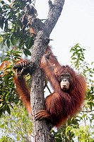 Orangutan in tree on Borneo