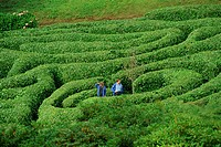 Two people lost in Glendurgan Maze, near Falmouth, Cornwall, England, United Kingdom, Europe