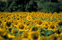 Field of sunflowers near Priene, Anatolia, Turkey, Asia Minor, Asia
