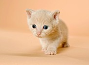 domestic cat _ kitten 5 weeks restrictions: Tierratgebebücher, Kalender / animal guidebooks, calendars
