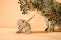 domestic cat and kitten 5 weeks restrictions: Tierratgebebücher, Kalender / animal guidebooks, calendars