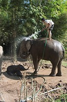 Elephants at the Anantara Golden Triangle Resort, Sop Ruak, Golden Triangle, Thailand, Southeast Asia, Asia