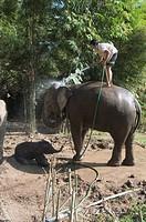Elephants at the Anantara Golden Triangle Resort, Sop Ruak, Golden Triangle, Thailand, Southeast Asia, Asia