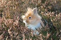 lion_headed dwarf rabbit in heath restrictions: animal guidebooks, calendars