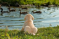 Labrador Retriever dog _ puppy at the shore restrictions: animal guidebooks, calendars
