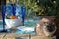 cat on a dinner table