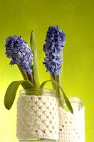 hyacinths in full blossom