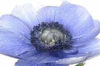blue anemone