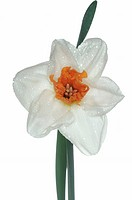 filled daffodil