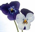 close_up of violet violas