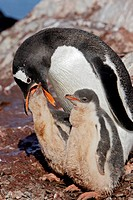 Gentoo Penguin (Pygoscelis papua papua), adult regurgitating krill to feed chicks. Ronge Island, Antarctica
