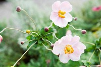 Anemone flowers and buds