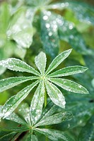 Dew covered cassava leaves