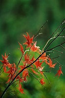 Autumnal leaves of Japanese Maple