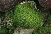 Star moss Tortula princeps