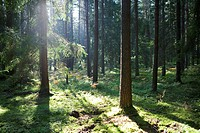 Sunlight shining through trees in forest