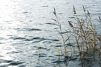 Reeds growing in lake