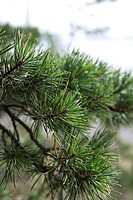 Pine branches, close-up