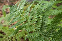 Fern, close-up